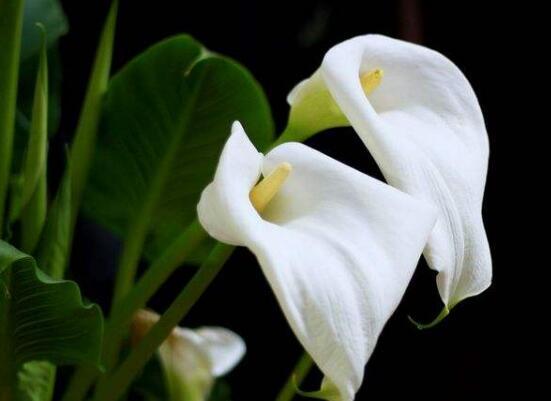 马蹄莲怎么施肥,马蹄莲的施肥方法