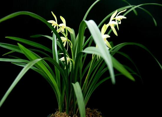 兰花冬天怎么养,兰花冬季的养殖方法