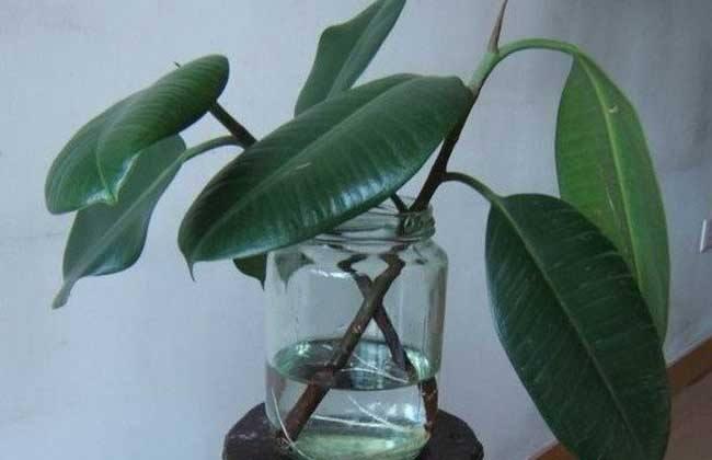 橡皮树泡水生根的方法,3个步骤让你橡皮树深根固柢