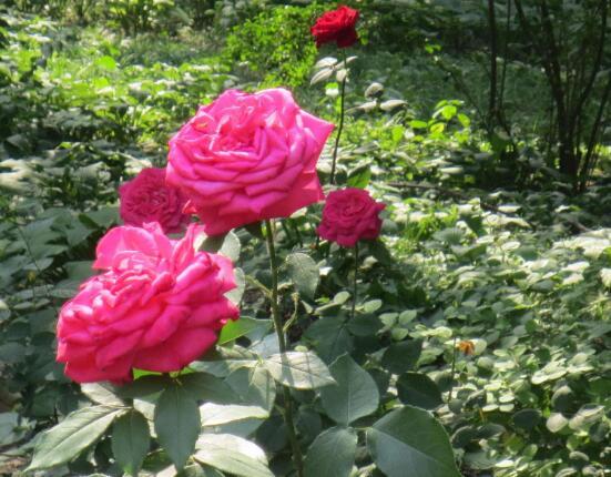 养月季花最好用什么土,保持土质微酸性肥沃疏松透气