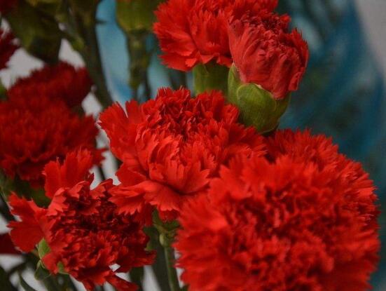 康乃馨送母亲要几朵,1、10、16、18朵寓意最深