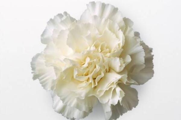 红色康乃馨花语,祝愿母亲健康长寿