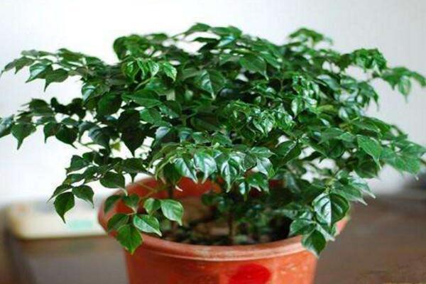 幸福树吸收甲醛吗,吸收甲醛效果非常好