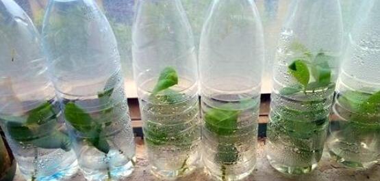 天竺葵几月可以扦插,一年四季均可扦插(土插与水插)