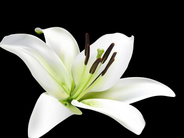 百合花的花语和寓意,不同颜色的寓意和花语都不同
