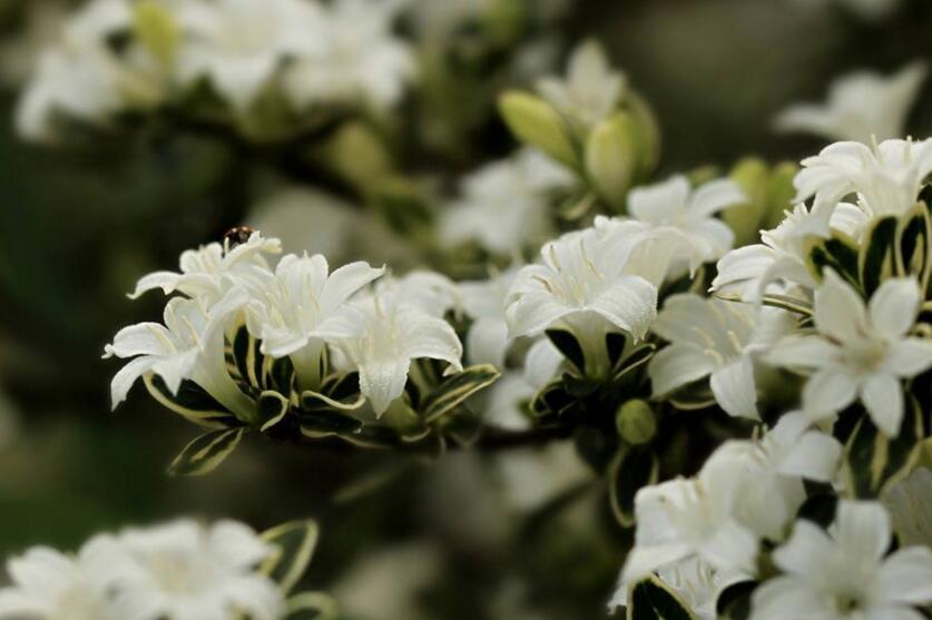 六月雪树叶发黑怎么办,找清原因及时救治(三种原因及解决方法)