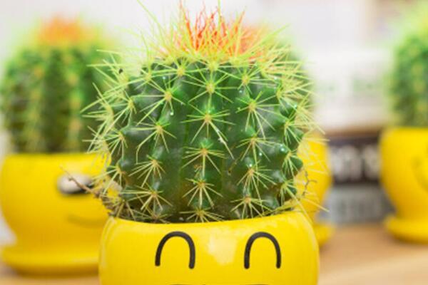 金虎仙人球变黄怎么办,多半是浇水、温度、光照三个方面没做好