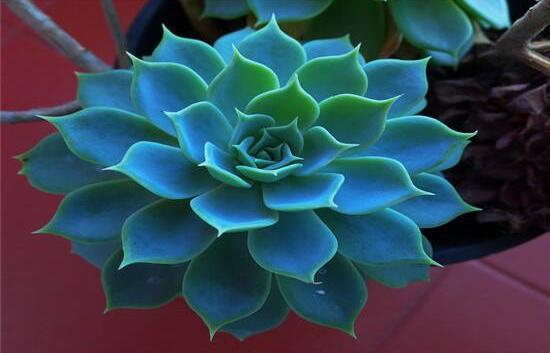 宝石花怎么繁殖,老农总结四种繁殖方法(播种繁殖简单易学)