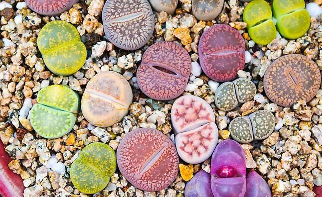 生石花怎么浇水,根据土壤的干湿程度来衡量浇水程度