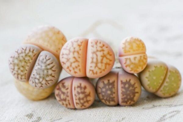 生石花的养殖方法,必须要掌握的5大要点