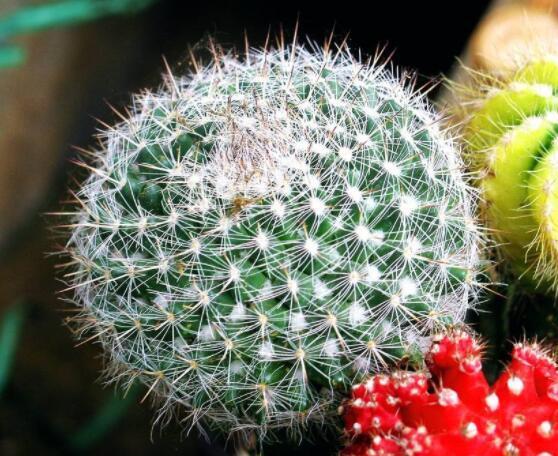 仙人球的养殖方法和注意事项,做好五个要点一年四季健康茂盛