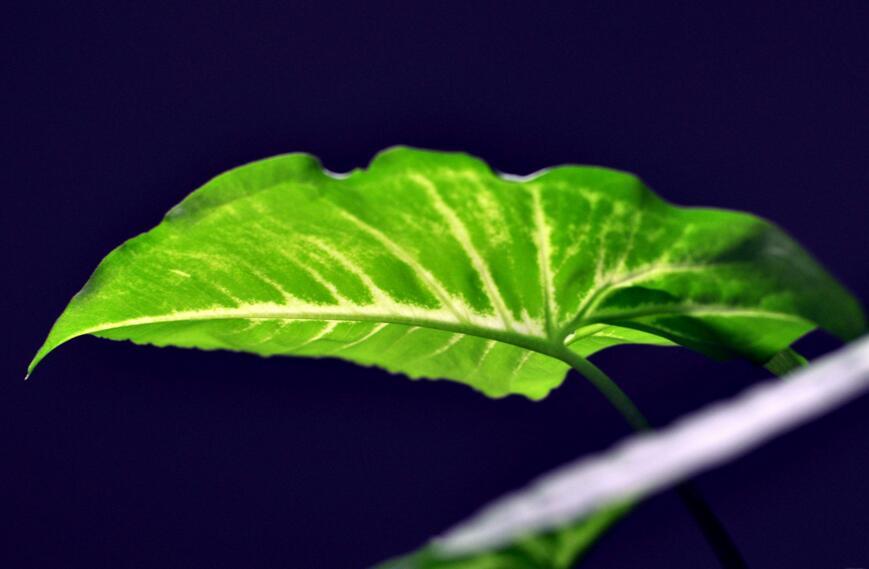 水培绿萝加白糖能生根吗,能生根/还能长的更快