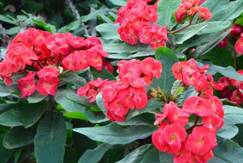 虎刺梅开花有毒吗,有毒/家中有小孩的最好不要栽种