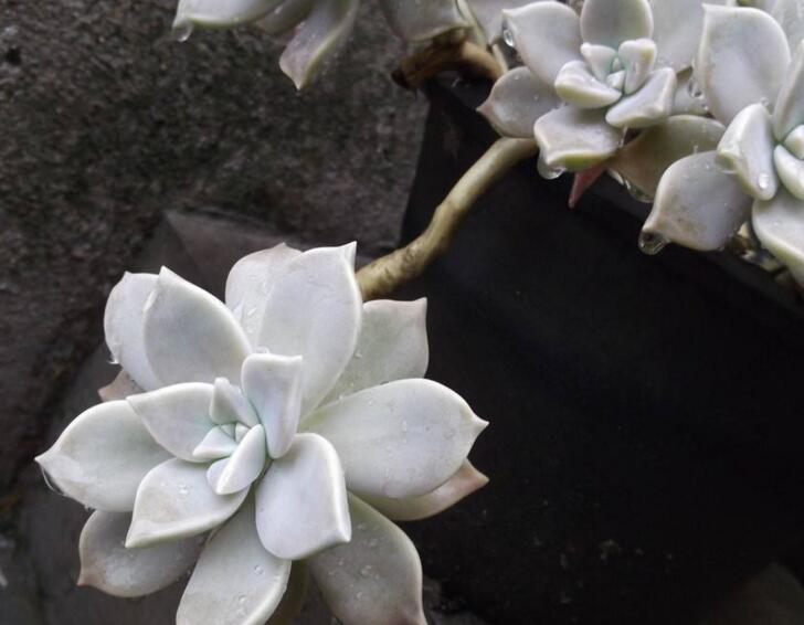 如何养宝石花,宝石花的四季养护方法介绍