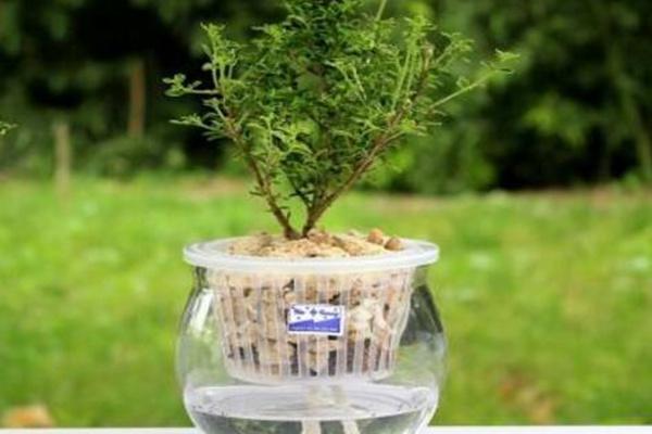 六月雪放水里会生根吗,可以生根但需要更加细心的养护