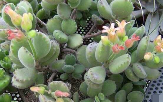 熊童子多久开花,每年7-9月间含苞盛放(夏末秋初)