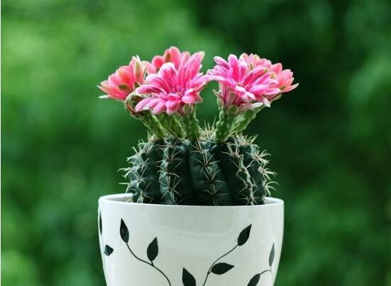 仙人球花语象征与寓意,坚强、温暖、柔弱、孤独