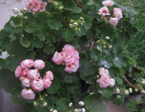 苹果天竺葵的养殖方法,老农总结六大最实用要点