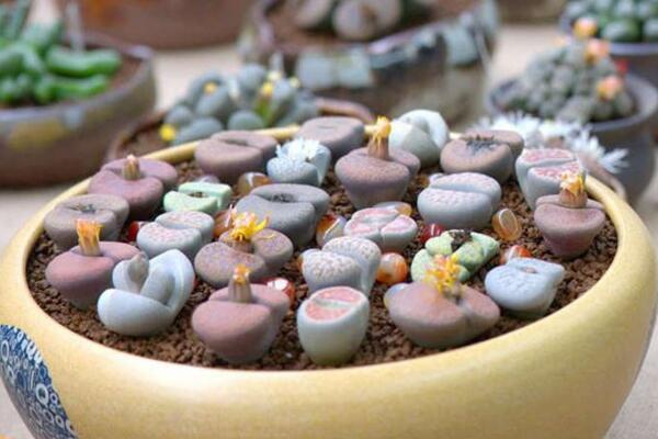 生石花长得很慢,及时补充养分并加强光照