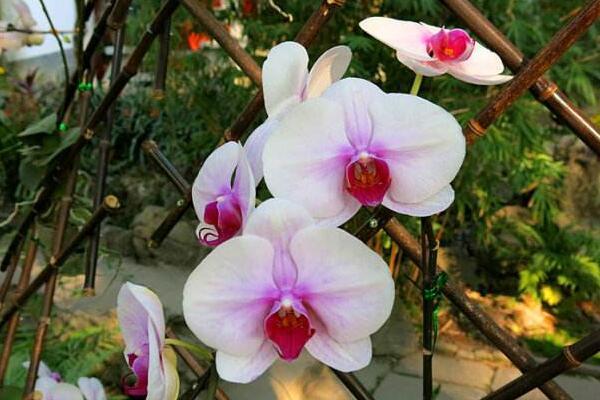 蝴蝶兰怎么繁殖出幼苗,花梗繁殖成活率最高