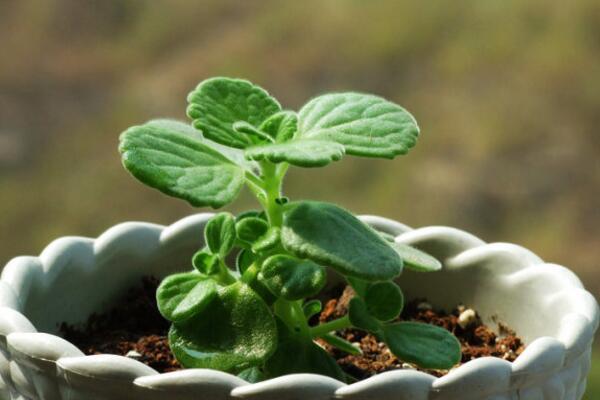 碰碰香种子种植方法,种植详细步骤以及种植注意事项