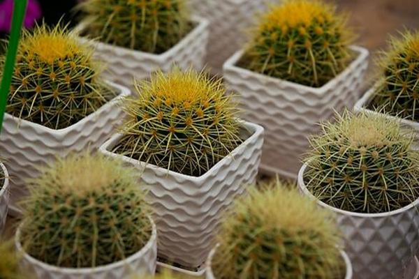 仙人球怎么种植,仙人掌种植经验分享