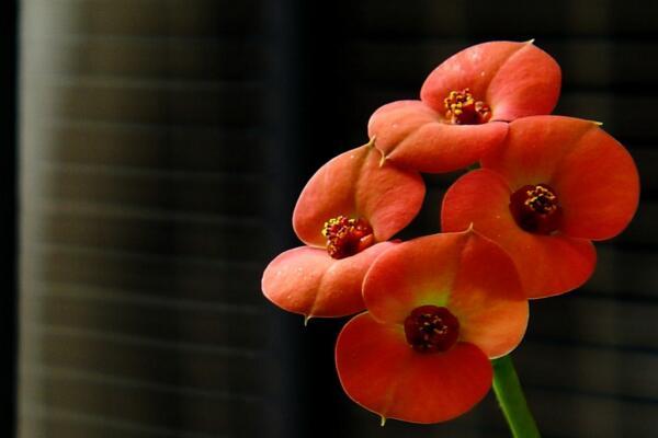虎刺梅和金刚纂的区别,通过枝干、叶片、花朵进行区分