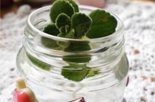 碰碰香可以水培吗,可以水培并且日常管理更加简单