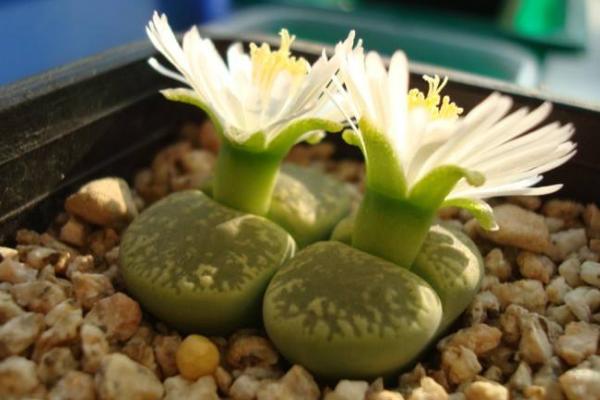 生石花最合适光照度,只需要在夏季适当遮阴即可