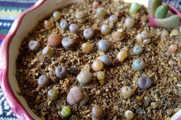 生石花刚种下几天浇水,最好的方法是湿土种植