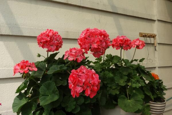 天竺葵打顶摘心图解,摘心时间在每年的春秋季
