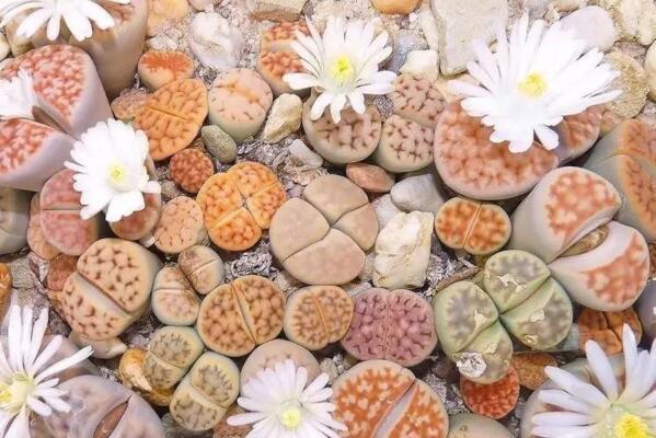 生石花养殖常见问题,稍不注意就会导致植株死亡