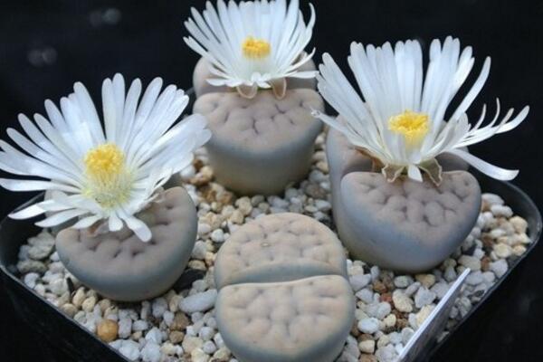 生石花开花还能活吗,开花后会脱皮但不会死