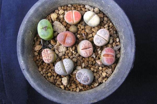 生石花用肥方法,不同的季节选择不同的肥料施撒
