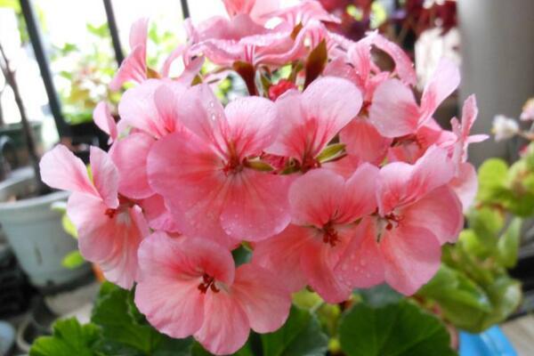 天竺葵泡水生根方法,3步即可天竺葵的水培