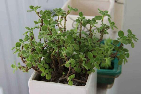 碰碰香夏天能暴晒吗,暴晒很容易导致植株枯萎甚至死亡