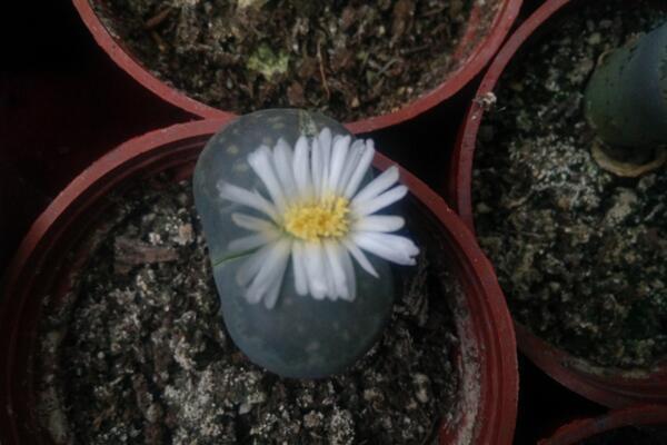生石花可以活多久,只要养护得当它的寿命可达百年