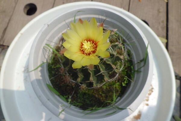 仙人球开花时间,全年都能开花但需要细心的养护