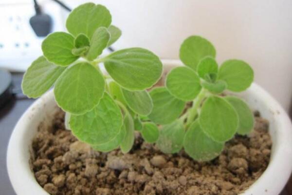 植物碰碰香的养殖方法,光照充足是碰碰香生长的关键