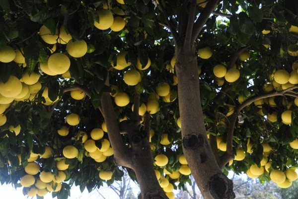 柚子树的种植技术,喜好沙壤土种子要进行消毒