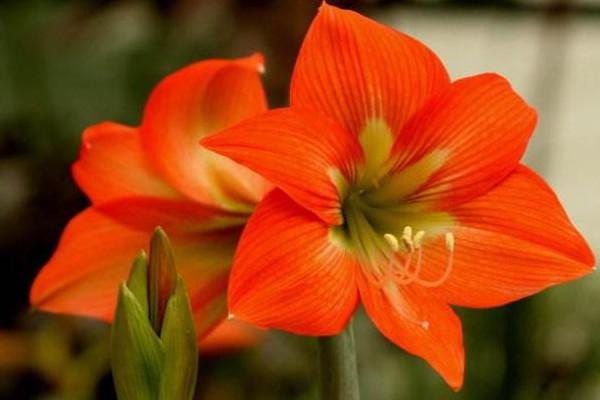 朱顶红几月份剪叶子,每年10~11月份剪最佳