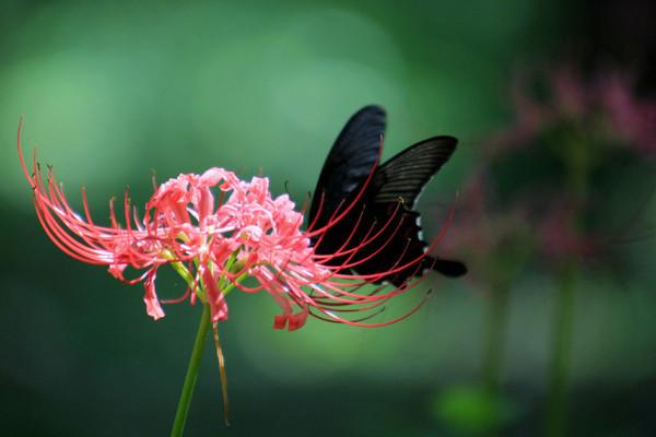彼岸花花语是什么,象征着绝望爱情