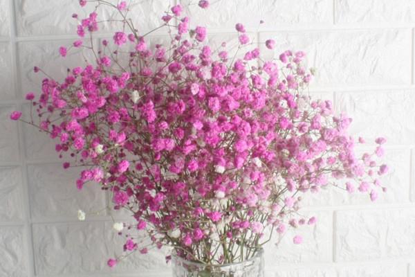 粉色满天星花语,代表初恋可用于告白