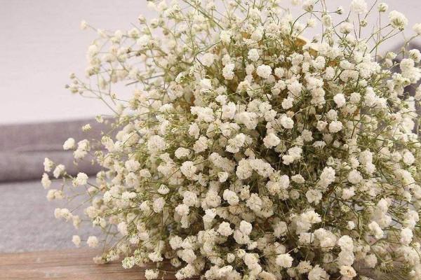 白色满天星花语是什么,纯洁清新/爱情的配角