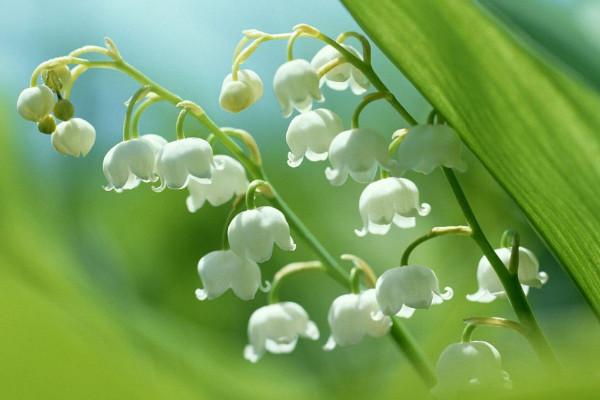 铃兰花的花语是什么,人格高尚/幸福归来
