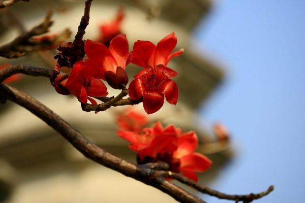 木棉花花语是什么,珍惜身边的快乐和幸福