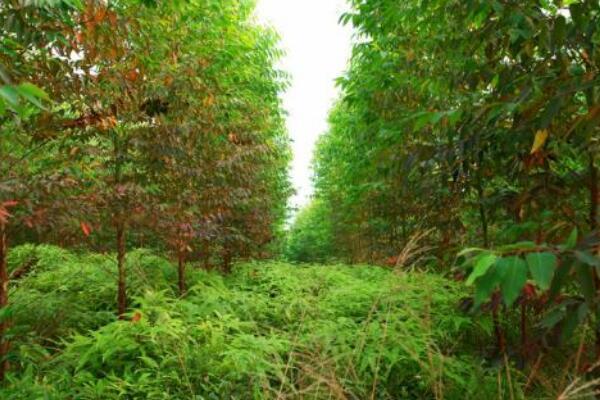 桉树散发的气味有毒吗,桉树的毒性分析
