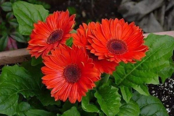 扶郎花的种植方法,春秋季播种成活率最高