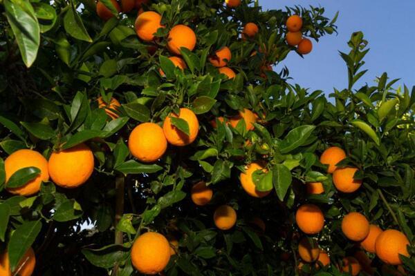 果树冬天可以移栽吗,在树木落叶之后进行移栽