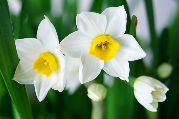 水仙花的花语和象征,自恋/思念/美好爱情
